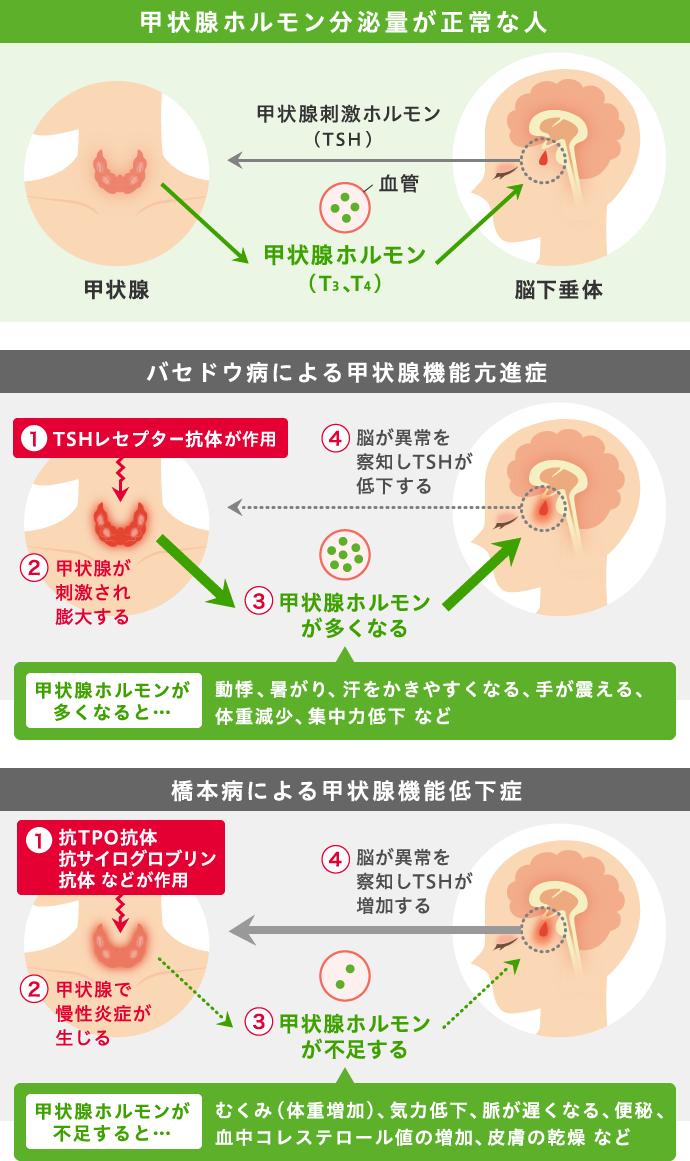 作用 甲状腺 ホルモン
